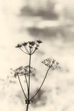 Vintage umbrella plant (hemlock). Stock Photography