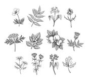 Vector Line Art Plants. Vintage vector field flowers and wild plants illustration. Monochrome engraving style detailed graphic Stock Image