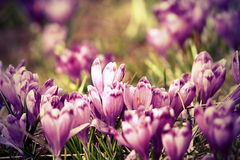 Vintage view of spring crocuses Stock Photo