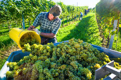 Vintage in the vineyards Stock Photography
