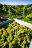 Vintage in the vineyards. Vintage in vineyard of a winemaker. vineyard in autumn. ripe grapes are harvested Royalty Free Stock Photos