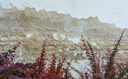 Vintage wall with red bush. White chipped wall with rough surface. Down with beautiful red plants stock images