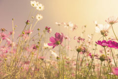 Vintage warm tone style Cosmos flower garden Stock Images