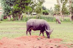 Vintage the water buffalo or domestic Asian water buffalo Royalty Free Stock Photography