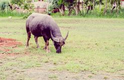 Vintage the water buffalo or domestic Asian water buffalo Stock Images