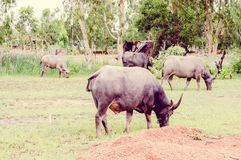 Vintage the water buffalo or domestic Asian water buffalo Royalty Free Stock Image