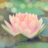 Vintage water lily Royalty Free Stock Images