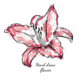 Vintage Watercolor lily. Vector Illustration on a White Background Stock Image