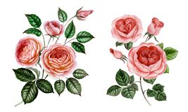 Vintage watercolor roses pink set isolated on white vector illustration