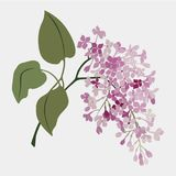 Vintage watercolor vector flower. Branch of lilac. Romantic illustration.. Vintage watercolor vector flower. Lilac. Romantic floral wedding background. Natural Stock Photos