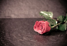 Vintage of wet rose flower placed on black stone Royalty Free Stock Photography