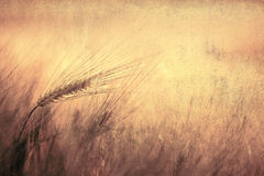 Vintage wheat dream. Retro golden wheat dream as background with empty space for text. Vintage filter effect used Royalty Free Stock Images
