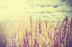 Vintage wheat field retro background. Royalty Free Stock Image