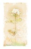 Vintage white rose Stock Photo