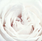 Vintage White Rose Stock Photo