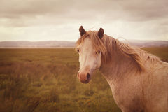 Vintage wild horse Royalty Free Stock Image