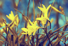 Vintage wild lily flowers Stock Photo