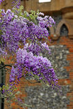 Vintage wisteria Royalty Free Stock Photography