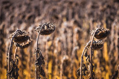 Vintage withered sunflowers Stock Photography