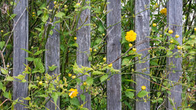 Spring scene with vintage planks and yellow blooms. Kerria japonica - cultivar Pleniflora. Neglected garden behind old wooden fence overgrown with green plants royalty free stock photo
