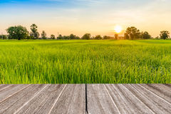 Vintage wooden texture with rice field in the morning Royalty Free Stock Photos