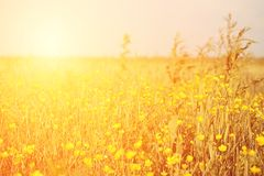 Vintage yellow flower field Stock Photography