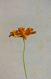 Vintage yellow Flowers on old paper.  Royalty Free Stock Images