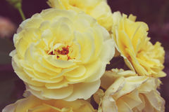 Vintage yellow rose Royalty Free Stock Photos