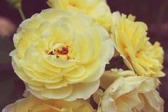 Vintage yellow rose. In garden Royalty Free Stock Photos