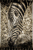 Vintage zebra. Royalty Free Stock Photo