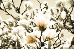 Vintaged Magnolias Stock Photo