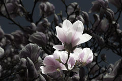 Vintaged Magnolias Royalty Free Stock Photo