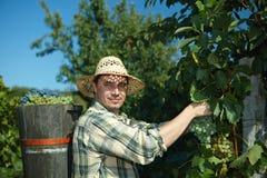 Vintager die uiteindehoogtepunt van druiven draagt Stock Fotografie