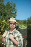 Vintager harvesting grapes Royalty Free Stock Image