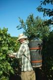 Vintager que colhe uvas fotografia de stock royalty free