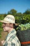 Vintager que cosecha las uvas Foto de archivo