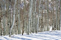 Vinter Aspen Trunks royaltyfria foton
