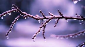 Vinter. blått förgrena sig i isen Arkivfoton
