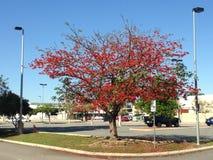 Vinter-blommande Illawara flamma-träd Royaltyfri Foto