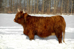 Vinter and cow Royalty Free Stock Photos