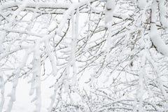 vinter för blåa snowflakes för bakgrund vit Snow förgrena sig på Royaltyfria Foton