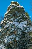 vinter för julskogtree fotografering för bildbyråer
