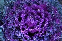 vinter för kale 2 Royaltyfria Bilder