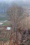 vinter för poplartrees Arkivbilder