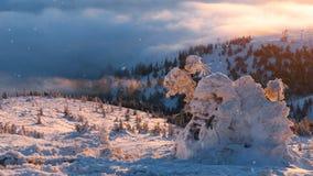 vinter för skogliggandesnow kullar med många sörjer träd som täckas av snö stock video