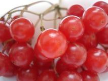 vinter för tät cranberry för bär saftig mogen övre Röd viburnum på en vit bakgrund Filialen av viburnumen arkivfoto