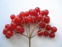 vinter för tät cranberry för bär saftig mogen övre Röd viburnum på en vit bakgrund Filialen av viburnumen royaltyfria bilder