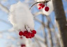 vinter för tät cranberry för bär saftig mogen övre arkivfoton