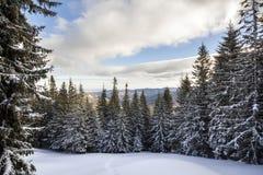 vinter för trees för julliggandenoel Härlig högväxt dold intelligens för granträd arkivbilder