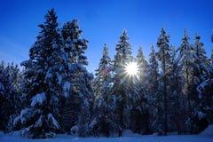 Vinter Forest Snowy Pine Trees med blå himmel för solsken Arkivbilder